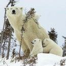 Marv Bear