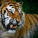 Tiger.Rozairi