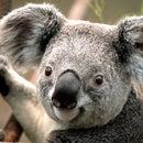 Koala 46