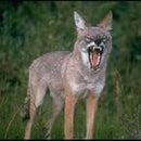 uptowncoyote